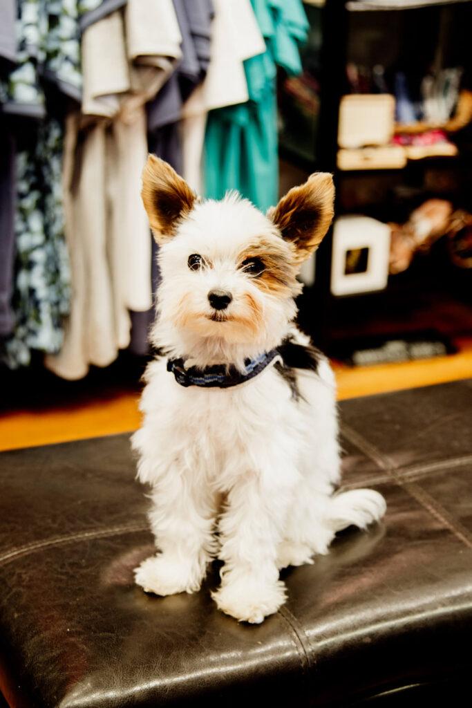 Cute puppy sitting in a shop in Victoria, BC.