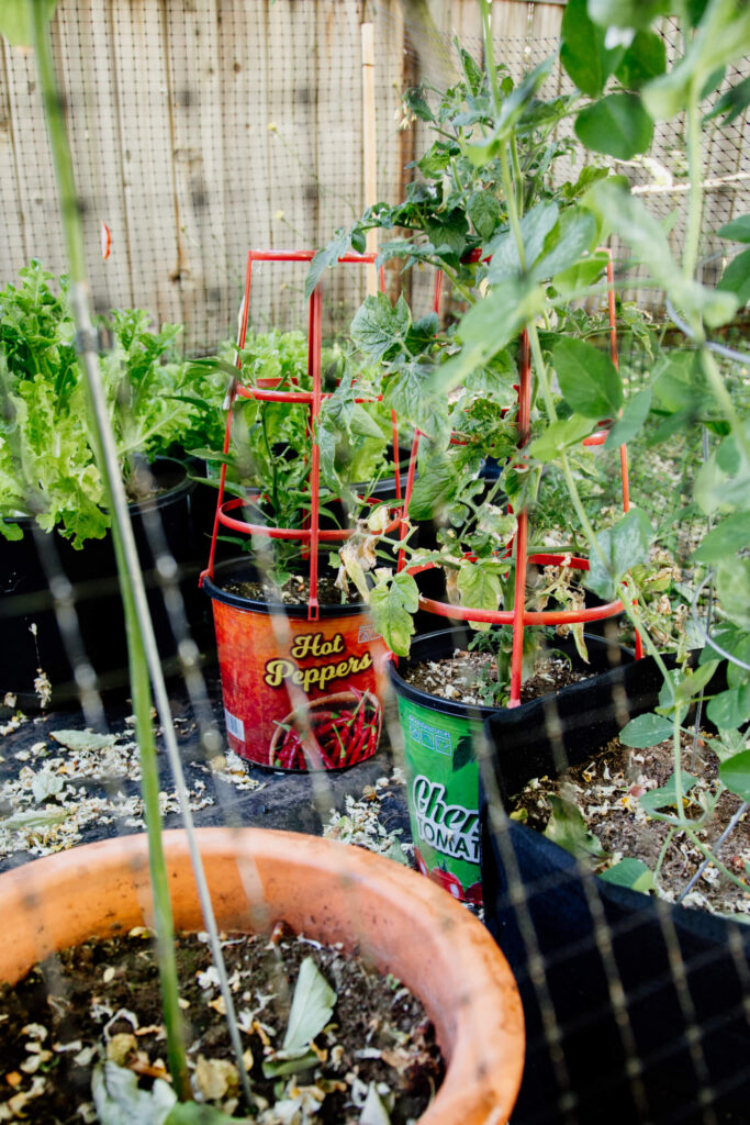 Tomato garden in Victoria, BC.